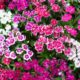 Chinese Anjers - Dianthus chinensis - Eetbare Bloemetjes