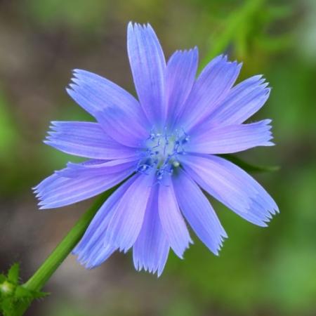 Cichorei-bloemen – Cichorium intybus - Eetbare Bloemetjes