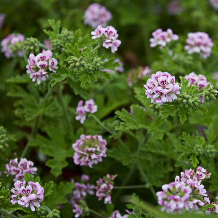 Geurgeranium - Pelargonium graveolens / odoratissimum - Eetbare bloemetjes