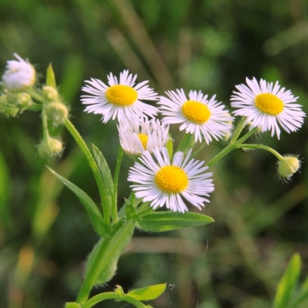 Zomer-fijnstraal - Erigeron annuus - Eetbare bloemetjes
