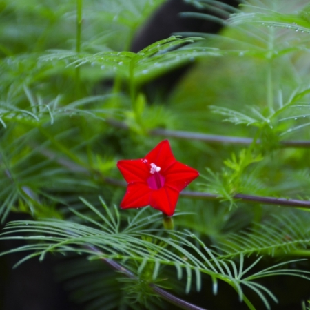Cardinal Climber / 'Sunspots' Morning Glory - Ipomoea multifada - Eetbare Bloemetjes