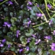 "Maartse Viooltjes ""Labradorica"" - Viola odorata labradorica – Eetbare Bloemetjes"