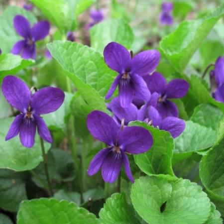 Maartse Viooltjes – Viola odorata - Eetbare Bloemetjes