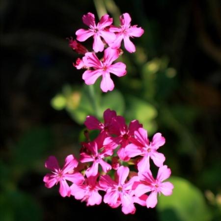 Pek-anjer - Silene armeria - Eetbare bloemetjes