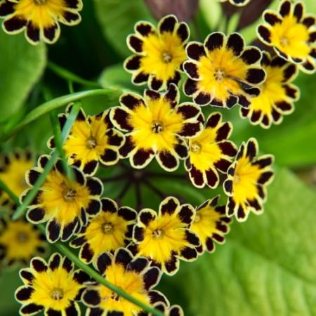 Sleutelbloemen 'Silver Lace Black' - Primula veris 'Silver Lace Black' - Eetbare bloemetjes