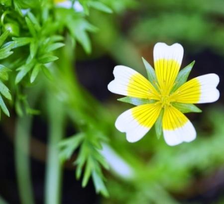 Spiegel-eitjes / Moerasbloem - Limnanthes douglasii - Eetbare bloemetjes
