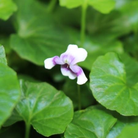 Australisch Viooltje / Native Violet - Viola banksii - Eetbare bloemetjes