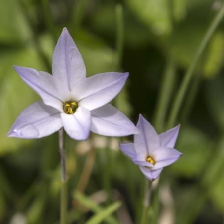 Ipheion bloemetjes - Ipheion uniflorum - Eetbare Bloemetjes