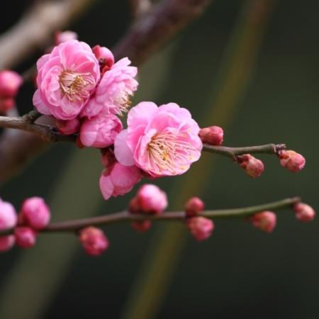 Japanse Abrikoos - Prunus mume - Eetbare Bloemetjes