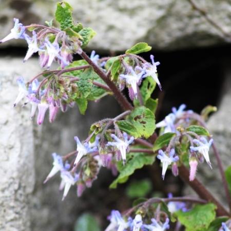 Trachystemon - Trachystemon orientalis - Eetbare bloemetjes
