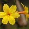 Winter-jasmijn - Jasminum nudiflorum