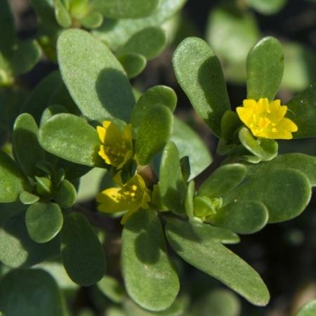 Zomer-Postelein - Portulaca oleracea - Eetbare bloemetjes