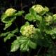 Zwartmoes-kervel - Smyrnium olusatrum - Eetbare bloemetjes