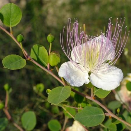 Kappertjesplant - Capparis spinoza - Eetbare Bloemetjes