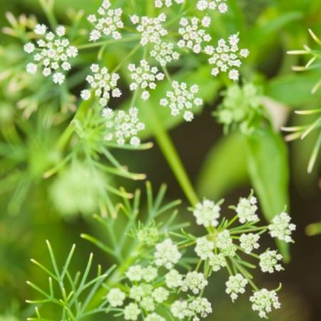 Komijn / Djinten - Cumium cyminum - Eetbare bloemetjes