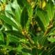 Laurier - Laurus nobilis - Tuinkruiden