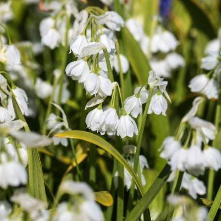 Boslook - Allium paradoxum - Eetbare bloemetjes