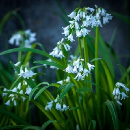 Driekantig Look - Allium triquetrum - Eetbare bloemetjes