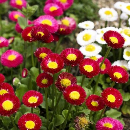 Madeliefjes 'Pomponette' - Bellis perennis 'Pomponette' - Eetbare bloemetjes
