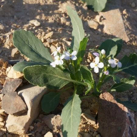 Wasabi-rucola - Diplotaxis erucoides - Eetbare bloemetjes