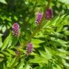 Zoethout - Glycyrrhiza glabra