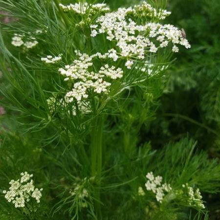 Karwij / Kummel - Carum carvi - Eetbare Bloemetjes