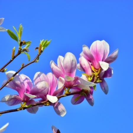 Magnolia bloemen - Magnolia X Soulangiana - Eetbare bloemetjes