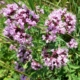 Wilde Marjolein/Oregano - Origanum vulgare - Eetbare bloemetjes
