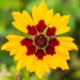 Meisjesogen - Coreopsis tinctoria - Eetbare bloemetjes