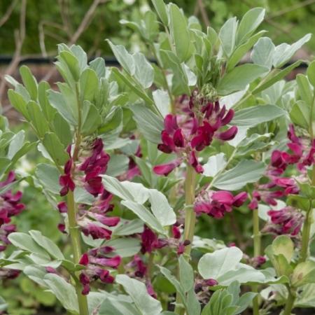 Rode Tuinboon bloemen - Vicia faba 'Crimson flowered' - Eetbare bloemetjes