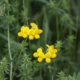 Rol-klaver - Lotus corniculatus - Eetbare bloemetjes