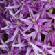Sterrenlook 'Metallic' - Allium Christophy - Eetbare bloemetjes