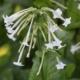 Sier-tabak / Bos-tabak - Nicotiana sylvestris - Eetbare Bloemetjes