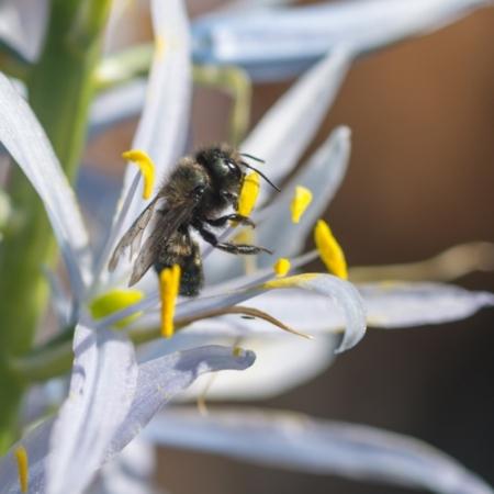 Camassia leichtlinii 'Semiplena' - Eetbare Bloemetjes