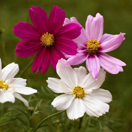 Cosmos / Cosmea - Cosmea bipinnatus - Eetbare Bloemetjes