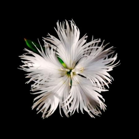 Dianthus / Anjer-bloemetjes - Dianthus arenarius - Eetbare Bloemetjes