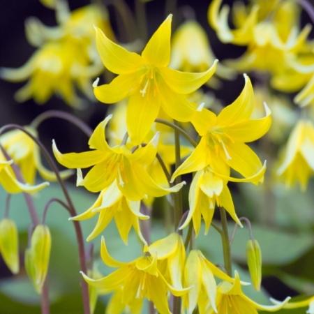 Gele Hondstand - Erythronium 'Pagoda' - Eetbare Bloemetjes