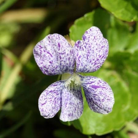 Gespikkeld Viooltje - Viola sororia 'Freckles' - Eetbare bloemetjes