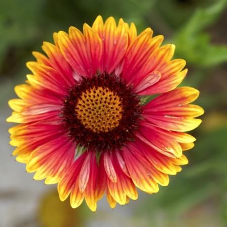 Kokardebloem / Blanketflower - Gaillardia aristata - Eetbare Bloemetjes