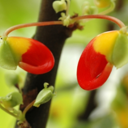 Congobalsemien / Parrotplant - Impatiens niamniamensis - Eetbare Bloemetjes