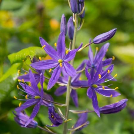 Camassia leichtlinii 'Blue Candle' - Eetbare Bloemetjes