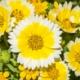 Tidy Tips - Layia platyglossa - Eetbare bloemetjes