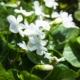 Viola sororia 'Albiflora' / 'Pfingst-veilchen' - Eetbare Bloemetjes