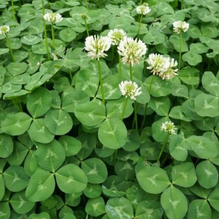 Witte Klaver / Ladino Klaver - Trifolium repens - Eetbare bloemetjes