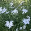 Franje-anjers / Pracht-anjers - Eetbare Bloemetjes