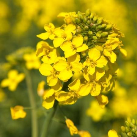Koolzaad bloemen - Brassica napus - Eetbare bloemetjes