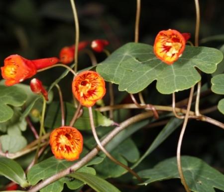 Mashua bloemen - Tropaeolum tuberosum - Eetbare bloemetjes