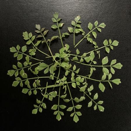 japanse peterselie Oenanthe javanica