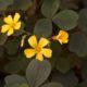 Bronzen Klaverzuring - Oxalis siliquosa 'Sunset Velvet' - Eetbare bloemetjes