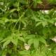 Olijf-komkommer - Cyclanthera pedata - Tuinkruiden